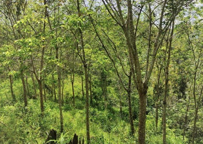Titi Jelebu Harvesting Rubber Estate Land for sale